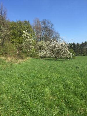 Obstbaum am Rand der Wiese