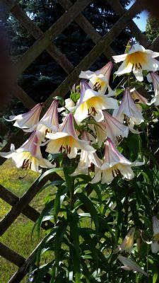 Lilien im Garten-2