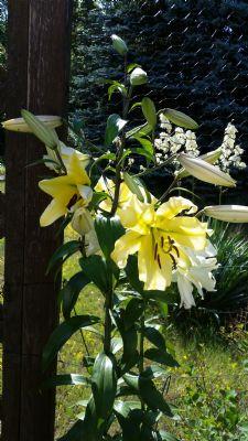 Lilien im Garten-3