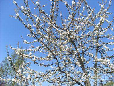 Obstbaum auf dem Grundstück in voller Blüte