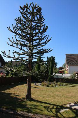 Affenbrotschwanzbaum